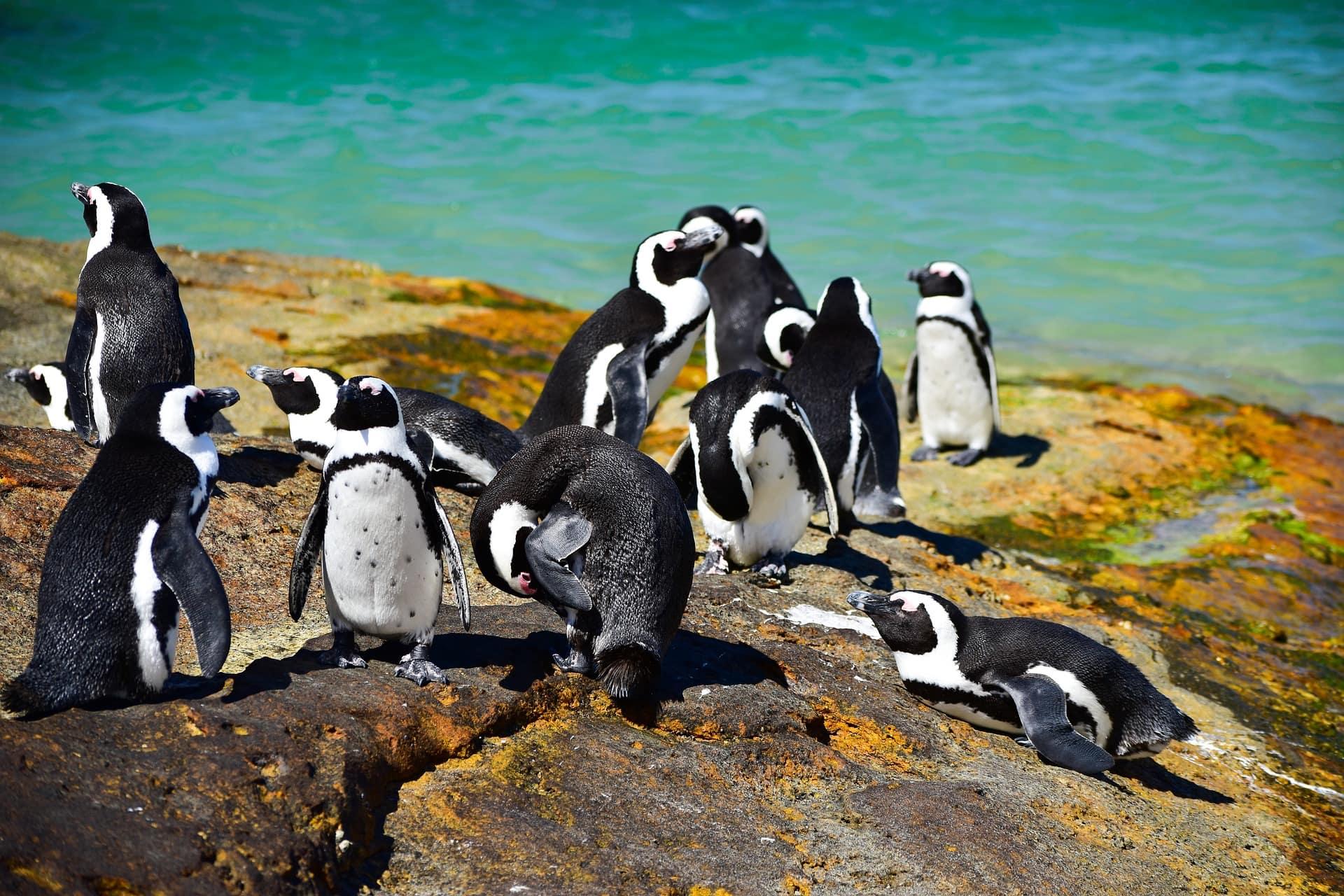 boulders-beach-pingouins-cover-afrique-du-sud-decouverte