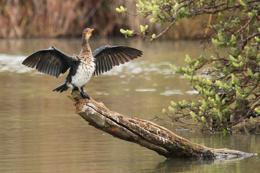 walter-sisulu-reed-cormorant-afrique-du-sud-decouverte