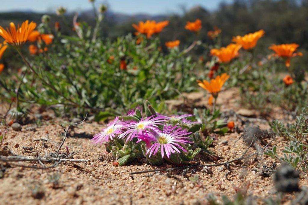 namaqua-flower-park-sud-africa-discovery