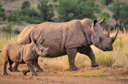 protection-des-rhinoceros-cover-afrique-du-sud-decouverte
