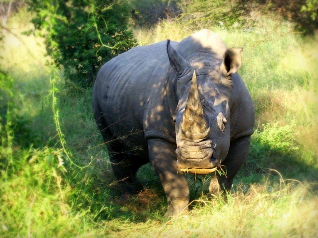 protection-des-rhinoceros-face-afrique-du-sud-decouverte