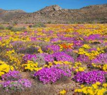 fleurs-sauvages-namaqualand-afrique-du-sud-decouverte