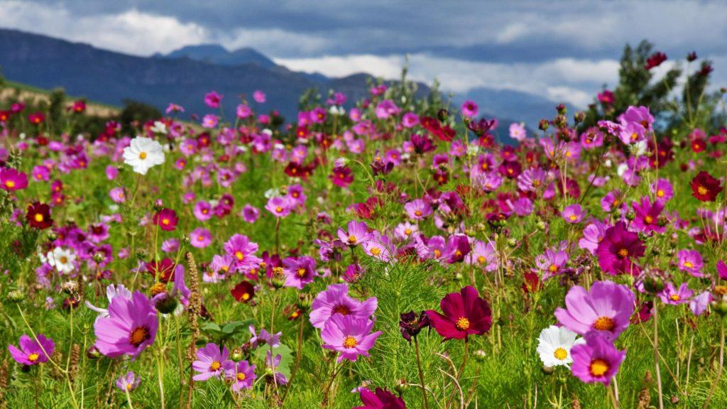 fleurs-sauvages-route-afrique-du-sud-decouverte