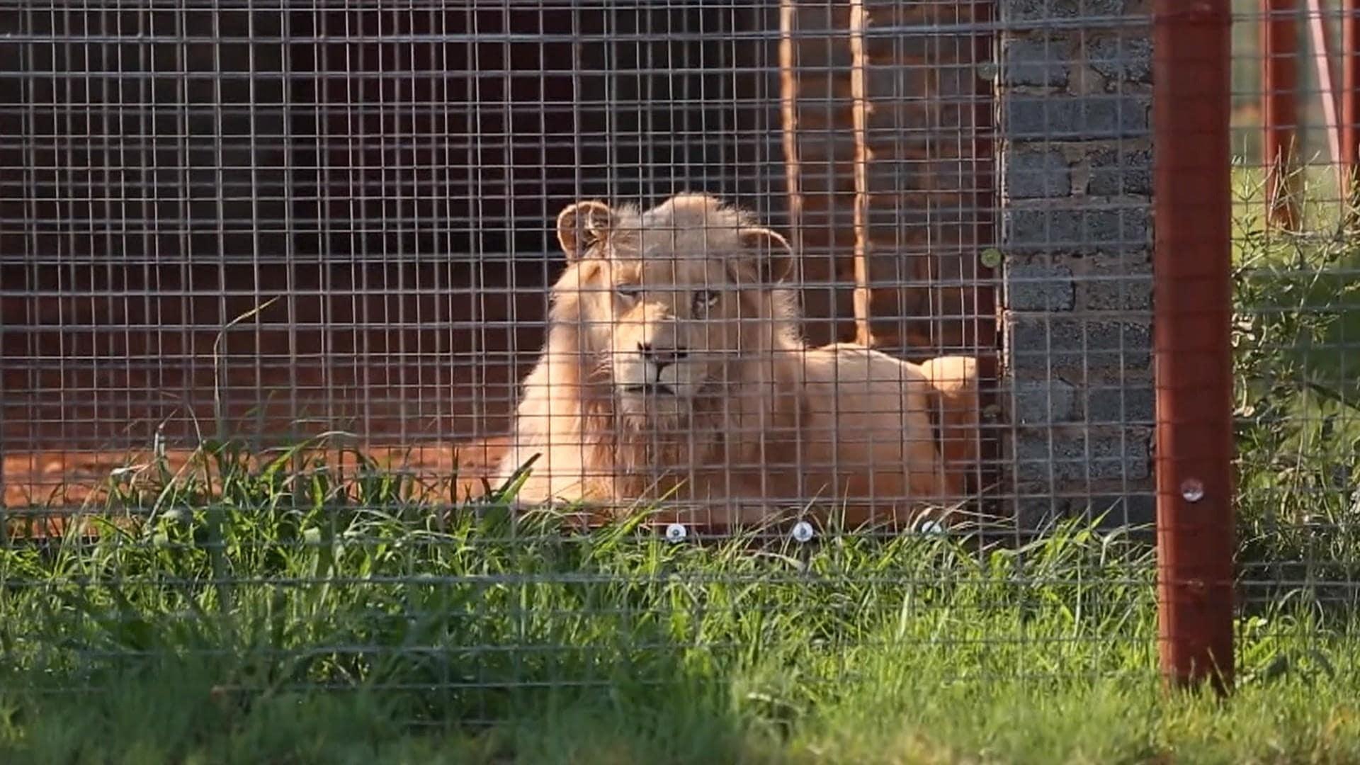 interaction-lion-cover-afrique-du-sud-decouverte
