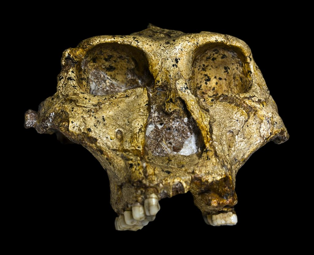 paranthropus-robustus-cover-afrique-du-sud-decouverte