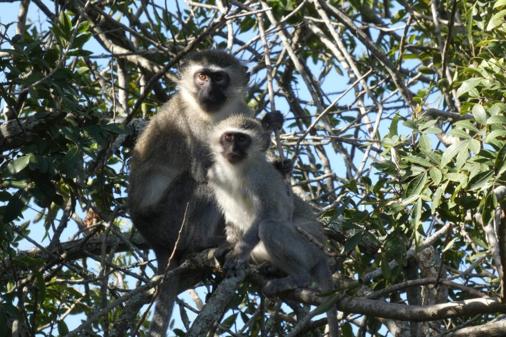 mono-vervet-bebé-sudáfrica-descubrimiento