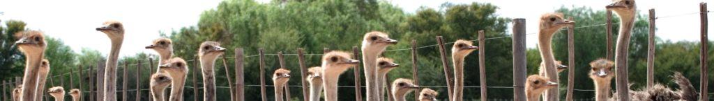 oudtshoorn-avestruces-sudáfrica-descubrimiento