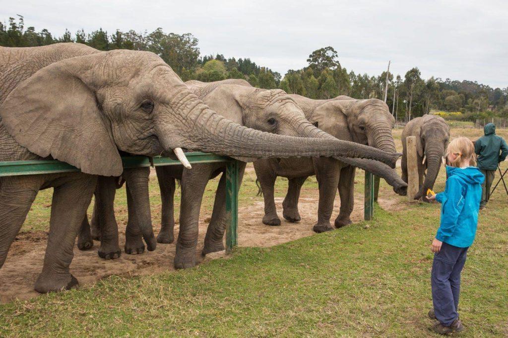 oudtshoorn-elefante-sud-africa-descubrimiento