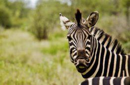 zebres-cover-afrique-du-sud-decouverte